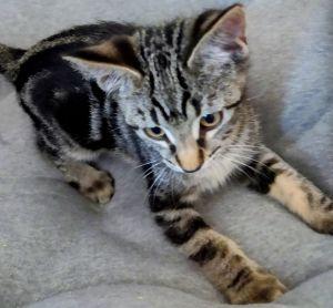 Kirby Domestic Short Hair Cat
