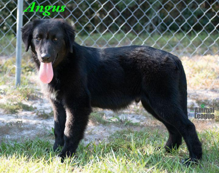 Angus 1
