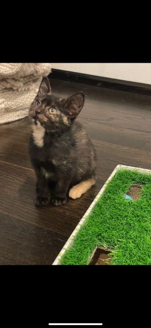 Meet Miss Victoria a beautiful 9 week old kitten She was found all alone wet and hungry We took he