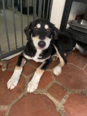 Murph Husky Dog