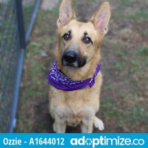 OZZIE German Shepherd Dog Dog