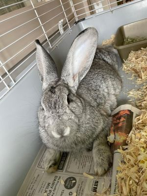 Chowder Buns  Silver Rabbit