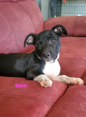 Hi My name is Mabel I am a tiny three month old little lady and weigh just about 10 lbs