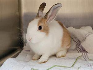 WILMA American Rabbit