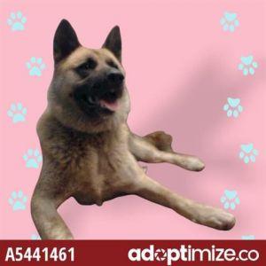 MARSHALL Akita Dog
