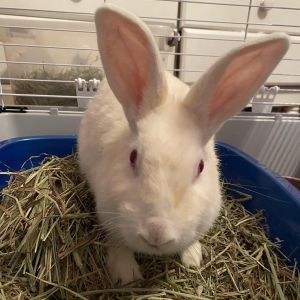 Marigold in her former life was a breeder bunny She had presumably had many litters and when she w