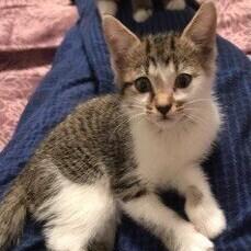 Willow American Shorthair Cat