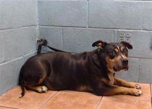 LEROY Pit Bull Terrier Dog