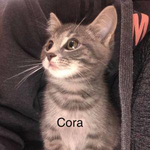 Cora American Shorthair Cat