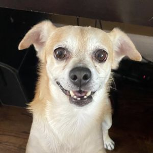 Meet Ziggy Ziggy is a 6-8yo 145lb long haired chihuahua He is vaccinated chipped and neutered