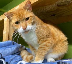 Nathaniel Domestic Short Hair Cat