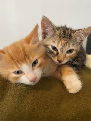 An adorable pair they are Billie  medium haired orange and his sister These two are as sweet as