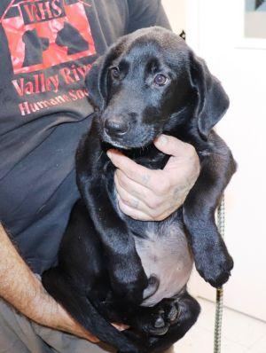 Gobblin available 10/22/21 Labrador Retriever Dog