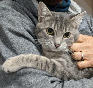 Antoinette Domestic Short Hair Cat