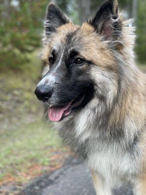 Blake Shepherd Dog