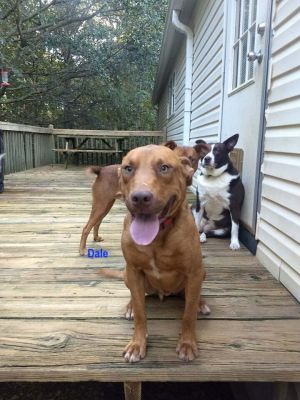 My name is Dale and my brother is Chip We are just under 1 and are Redbone CoonhoundTerrier Mixes