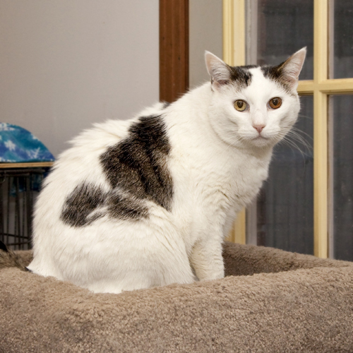 Valentine, an adopted Domestic Short Hair in Nashville, TN
