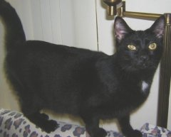 Estimated birth date 706 black with a dot on her chest very sweet sib to Little Dot The Cat Netwo