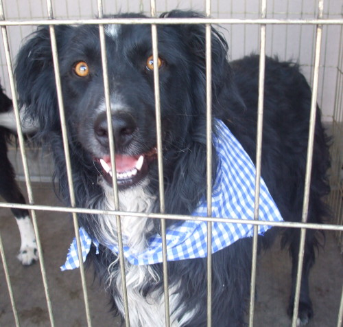 Ace, an adopted Australian Shepherd in Las Vegas, NV_image-3