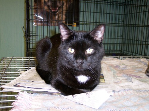 Sullivan, an adopted Domestic Short Hair Mix in Carneys Point, NJ