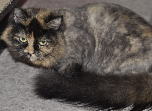 Ava, an adopted Tortoiseshell in Middleton, NS