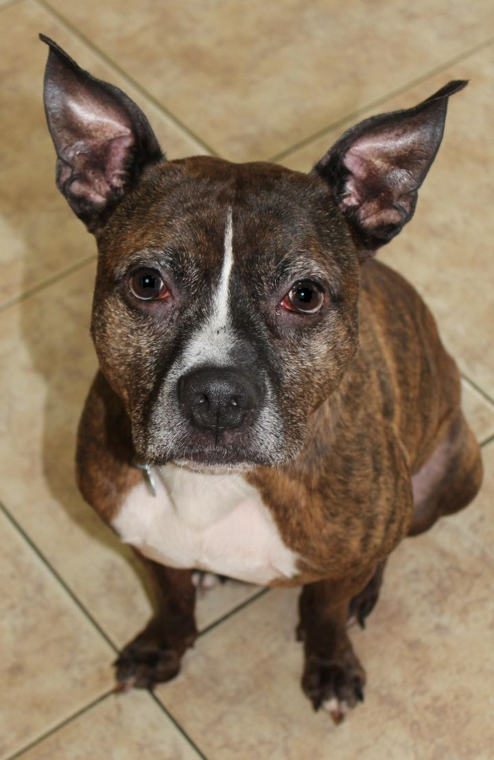 Romeo, an adopted Staffordshire Bull Terrier Mix in Mechanicsburg, PA