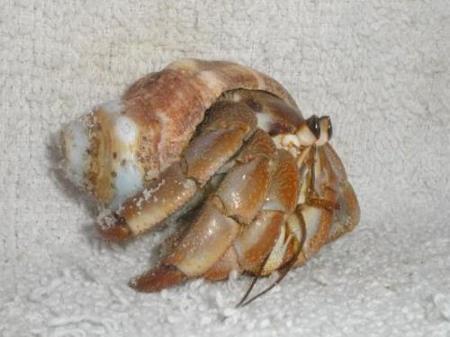 6 Hermit Crabs