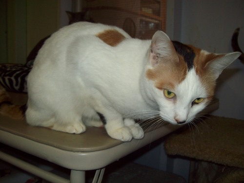 Genie, an adopted Calico Mix in Tallahassee, FL