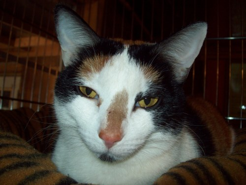 Petunia, an adopted Calico Mix in Tallahassee, FL