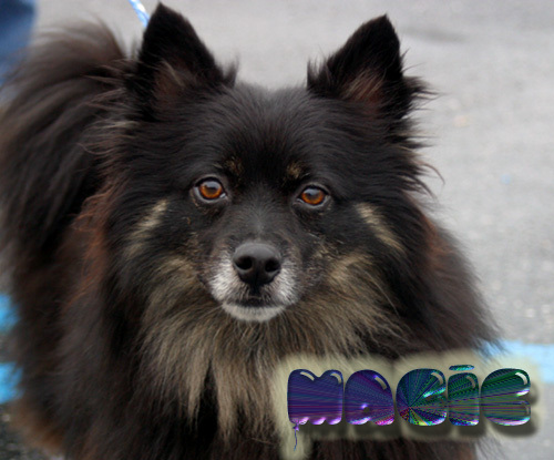 Magic, an adopted Pomeranian & American Eskimo Dog Mix in Jefferson, GA