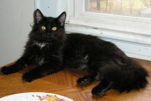 Lanie Maine Coon Cat