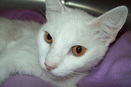 Snowflake, an adopted Domestic Short Hair Mix in Tallahassee, FL