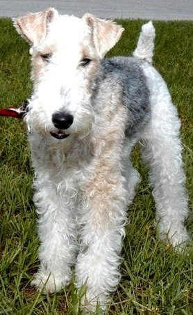 Dog for Adoption – Wire Fox Terriers, near Altamonte Springs, FL ...